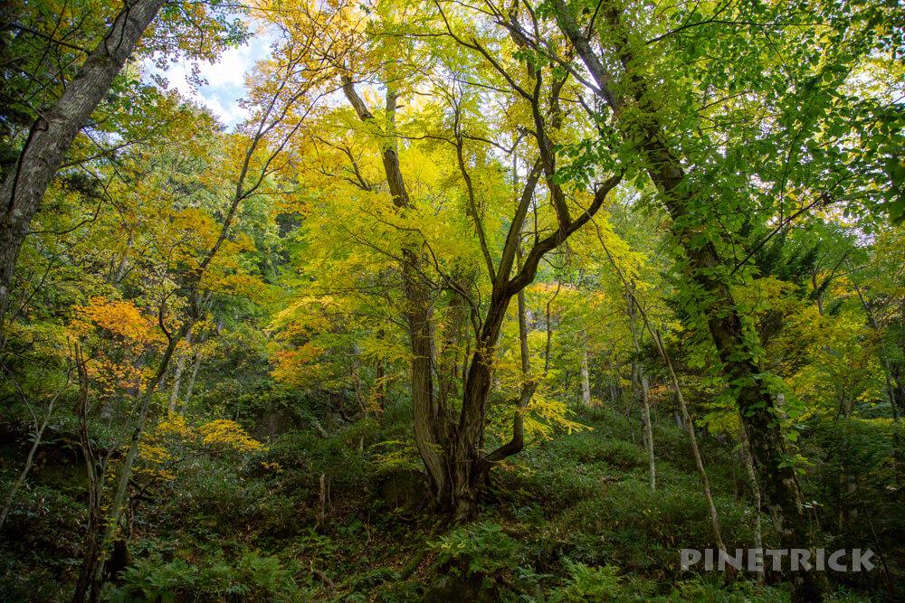 層雲峡温泉 紅葉谷散策路 北海道 観光スポット おすすめ カツラの木