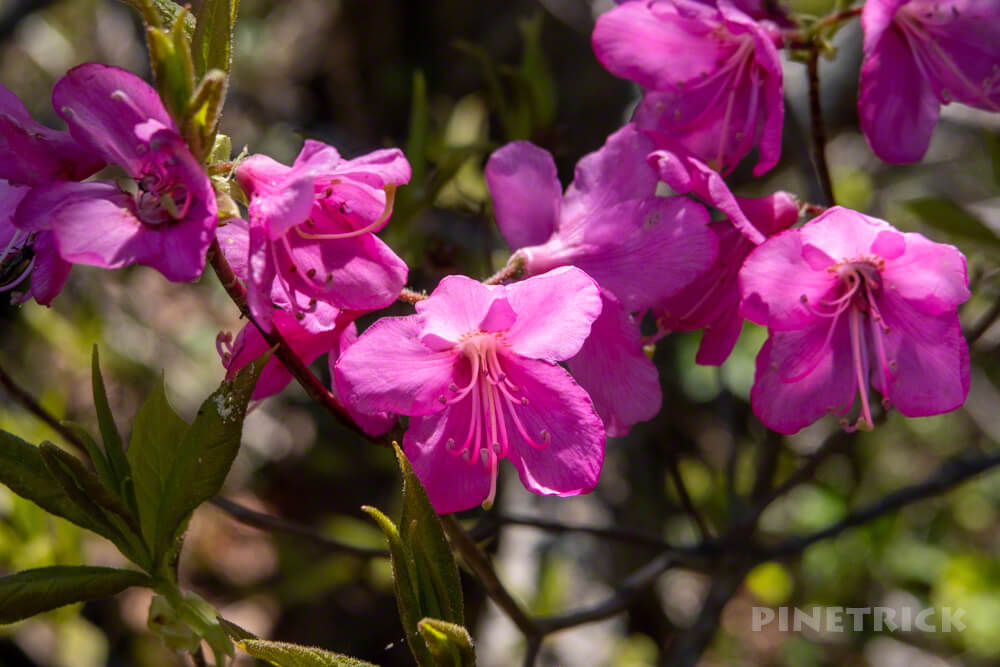 岩内岳 登山 ツツジ ピンク色