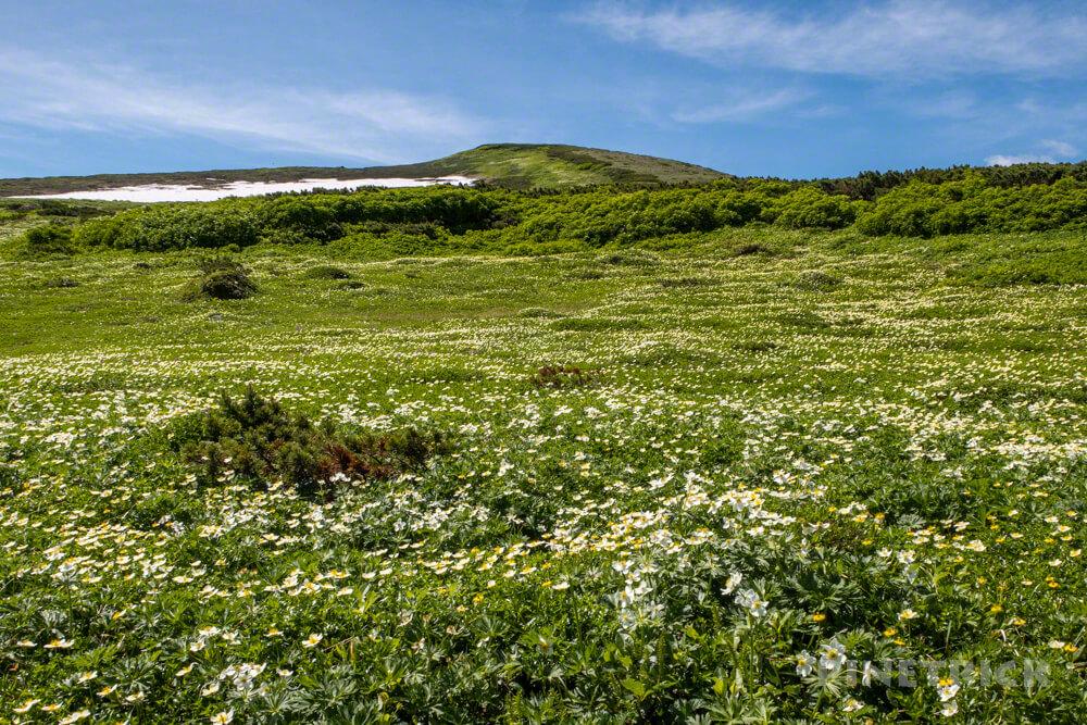 登山 北海道 天人峡コース チングルマ エゾノハクサンイチゲ