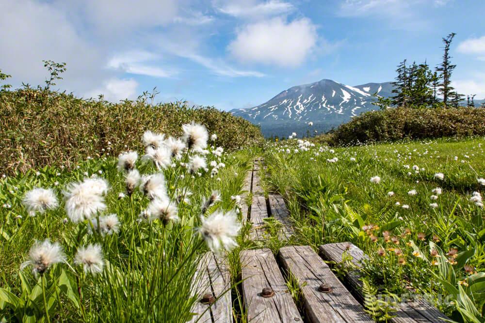 天人峡コース 登山  北海道 第一公園 ワタスゲ 花