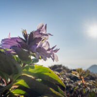 樽前山 登山 北海道 タルマエソウ 高山植物 イワブクロ 花