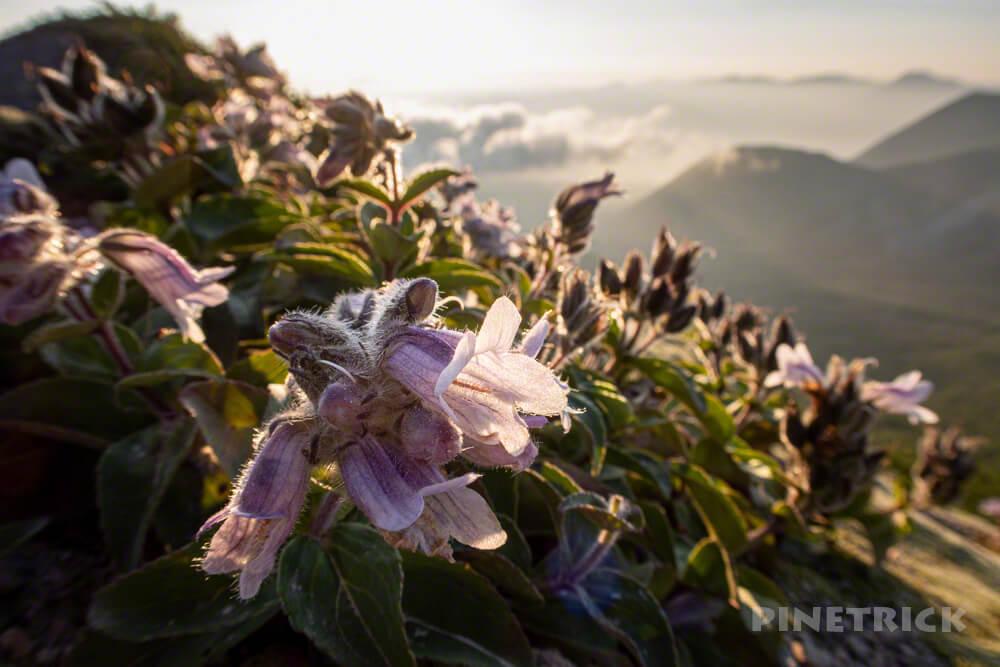 樽前山 登山 北海道 花 西山 サンセット
