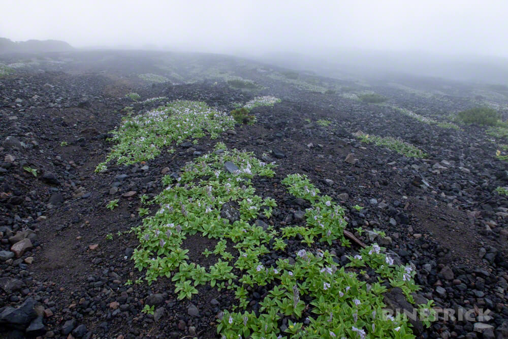 羊蹄山 真狩コース 登山 北海道 イワブクロ