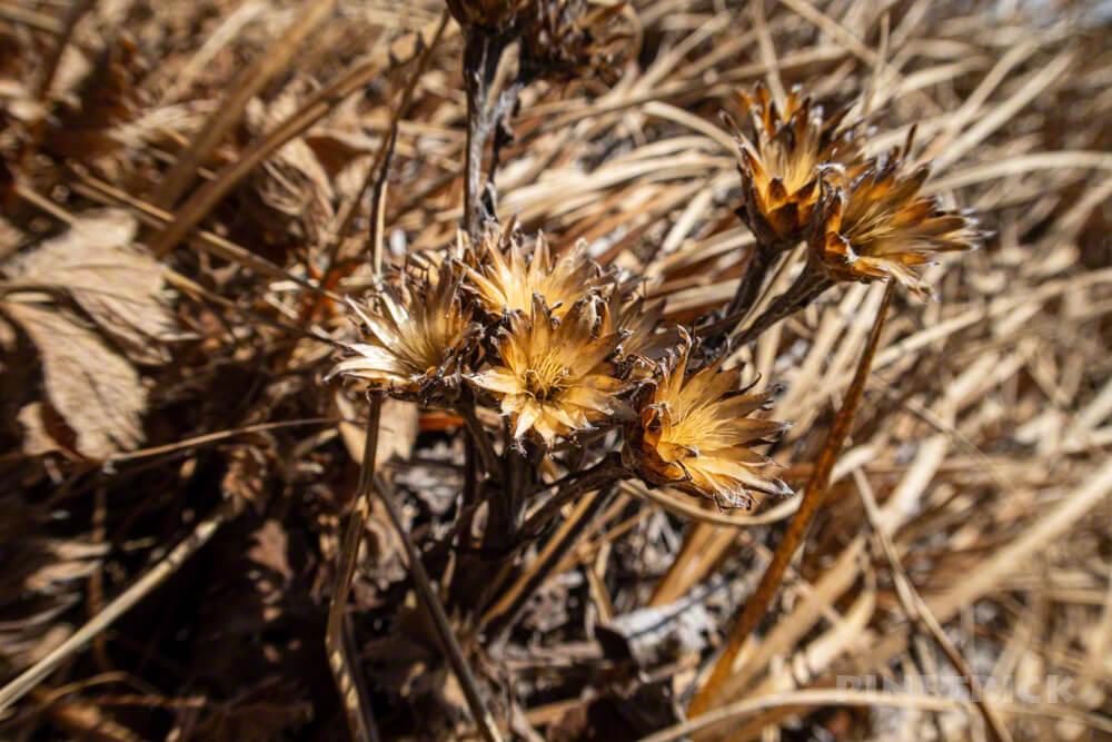 羊蹄山 喜茂別コース 登山 北海道 高山植物 枯れた